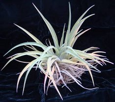 Grooming your Tillandsia