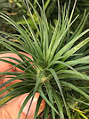 Tenuifolia Purple Bush