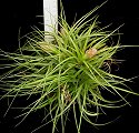 Stricta Green Clump Lg.