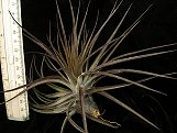 Stricta Midnight